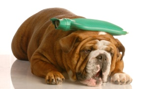 english bulldog with  hot water bottle - suffer a migraine